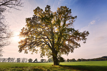 landscape with old oak against the morning sun