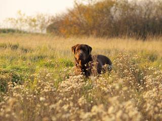brown labrador retriever in the autumn season