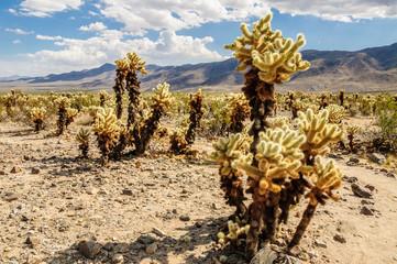 Cholla cactus in Joshua tree national Park