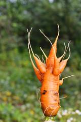 Strange shaggy carrots. mutant.