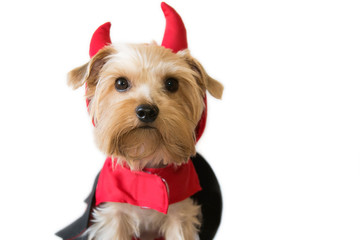 Little dog with a fancy dress devil
