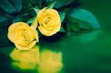 Fototapety yellow roses