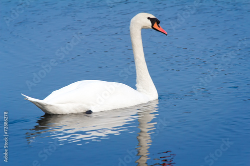 Fotobehang White Swan on blue water of the lake.