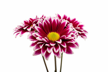 A autumn chrysanthemum flower