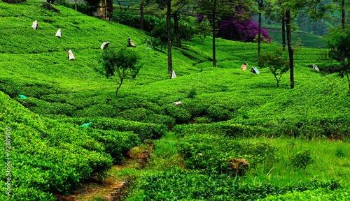 Fotobehang Overige Fields of tea. Plantation in Sri Lanka.
