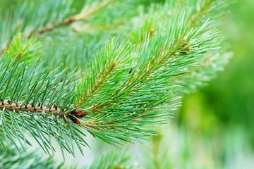 Branch of the European black pine.