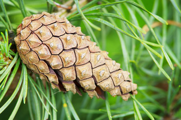Cone of the European black pine.