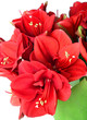 Big beautiful bouquet of red Amaryllis
