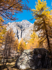 Larch trees and the peaks of Mont Blanc in fall