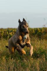 Irischer Wolfshund springt