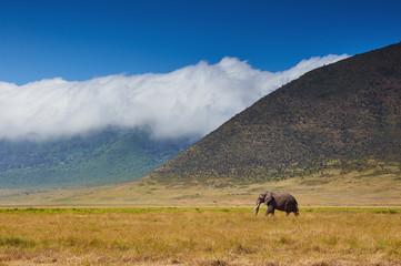 large male elephant walking in the savannah