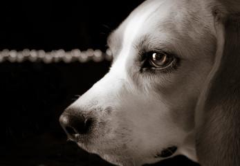 Beagle luces