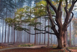 big beech tree in foggy forest