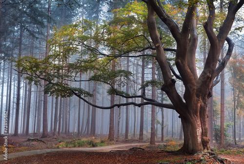 big beech tree in foggy forest - 72895462