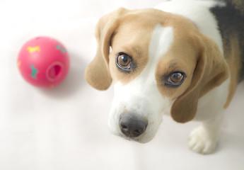 beagle con pelota