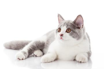 British shorthair cat on a white background.