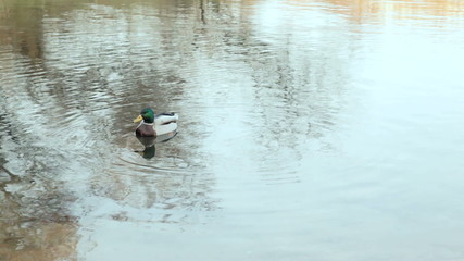 Wild duck swimming in the river