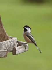 chickadee at feeder