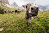 wide angle picture of donkey in Dolomites