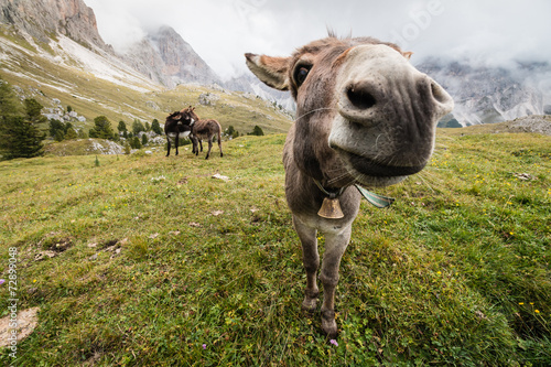 Poster Ezel wide angle picture of donkey in Dolomites