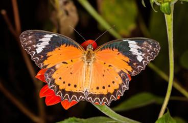 Monarch Butterfly on a orange flower, Danaus plexippus, on dark