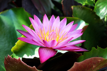Beautiful pink water lily blooming in the lake