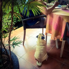 Pug waiting for food to be fed by owner