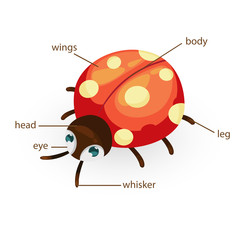 ladybug vocabulary part of body vector