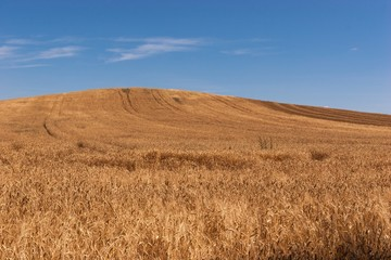 Wheat field in Hungary