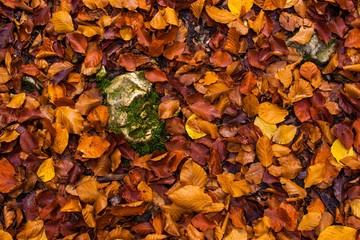 Autumn Wet Leaves with Rock at Forest