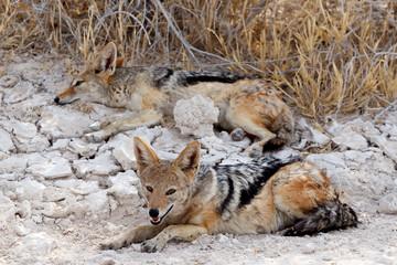 two black-backed jackal (Canis mesomelas) lying in Etosha park