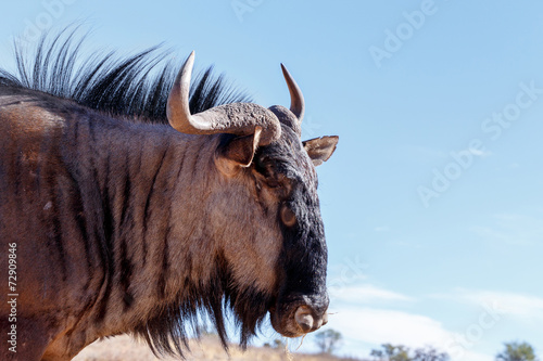 Staande foto Antilope portrait of A wild Wildebeest Gnu