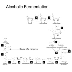 Chemical scheme of alcoholic fermentation metabolic pathway
