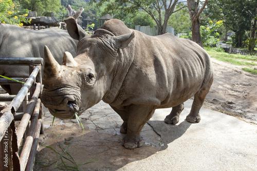 Staande foto Neushoorn African black rhinoceros