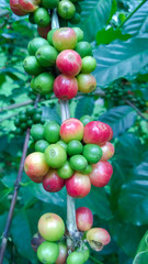 Coffee - Coffee tree with ripe - Coffee beans on tree