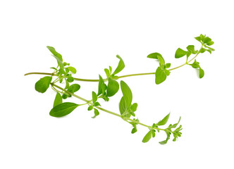marjoram isolated on white