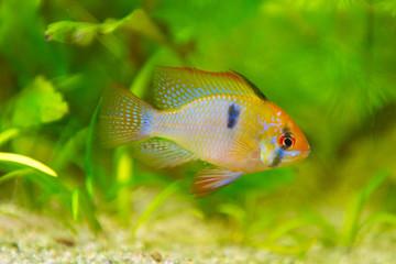 Mikrogeophagus ramirezi, ram cichlid,male