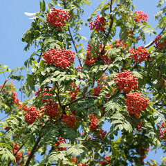 Many rowan-berries fruits hangs on green branches