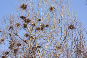 Colonia de Grajas con nidos, Corvus frugilegus.