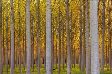Chopera, troncos de chopo. Populus canadensis, euramericana.