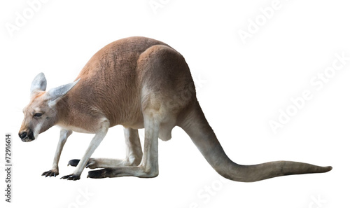 Foto op Aluminium Kangoeroe Red kangaroo