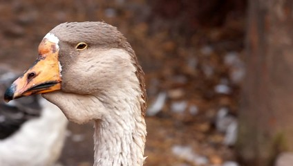 goose portrait close in profile