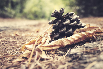 Pine cones on the ground in a forest