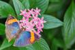 Orange Oakleaf Butterfly