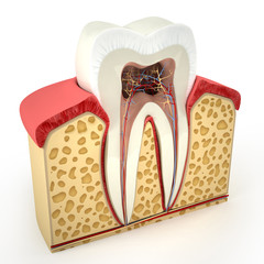 Human tooth cross-section (3d model)