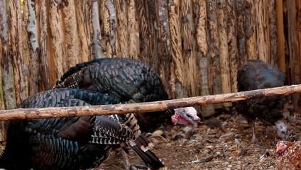 tom turkeys in the poultry yard