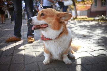 small cute dog for a walk redhead