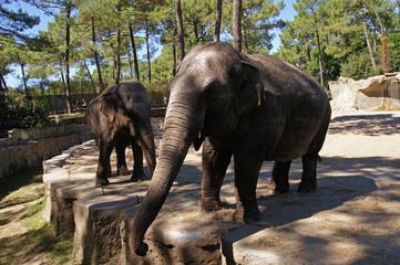 éléphants d'Asie