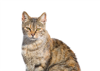 wild cat isolated on white
