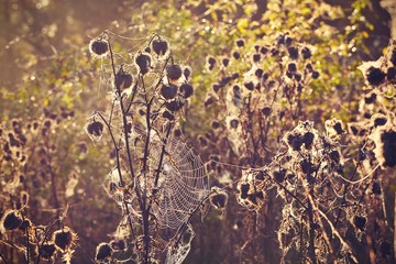 Thistle with cobweb